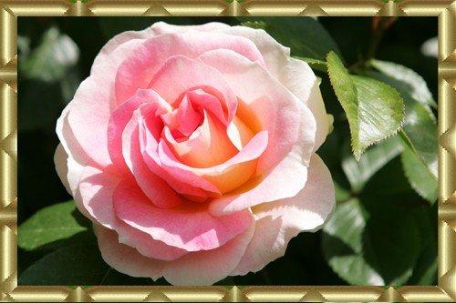 les passions de mamie une merveille la roseraie de l hay les roses. Black Bedroom Furniture Sets. Home Design Ideas