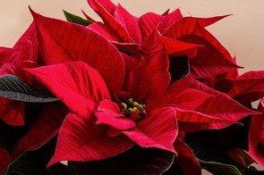 Poinsettia 3 pour blog